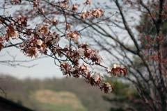 桜の開花.jpg